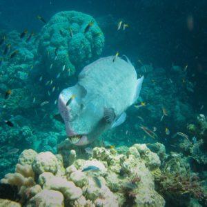 171_double_Headed_Parrotfish_Great_Barrier_Reef_reg